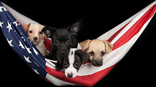 Four puppies in a hammock made from an American Flag